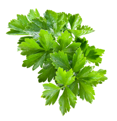 coriander-504x518px